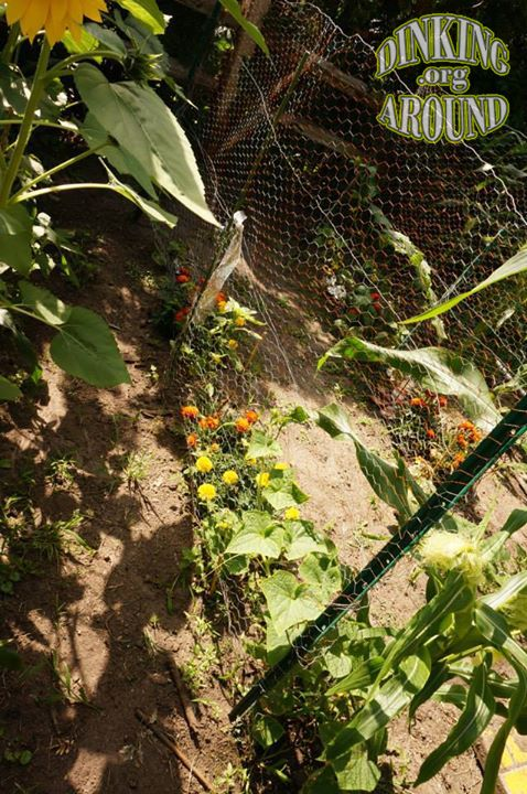 EASY CHEAP Trellis. Cucumbers grown with marigolds for pest help too. - By Dinking Around