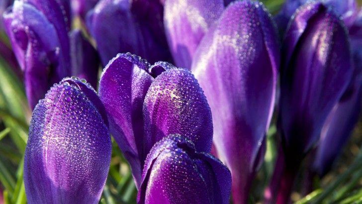 Crocuses Purple Flowers Macro - Fondos de pantalla HD. Fondos de escritorio. Protectores de pantalla. Wallpapers HD. Fondos de pantalla.
