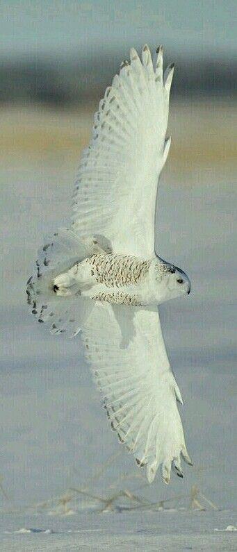 Birds of Prey - Snowy Owl in flight. What a beautiful sight. - photo by Studebaker Studio