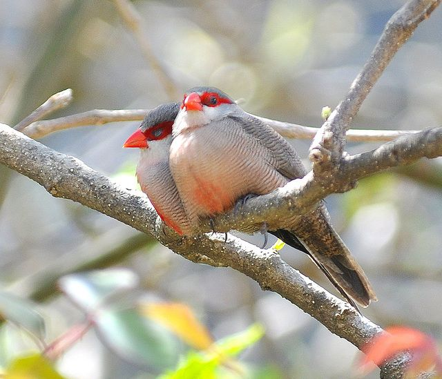 Foto bico-de-lacre (Estrilda astrild) por Adilson Alves | Wiki Aves - A Enciclopédia das Aves do Brasil