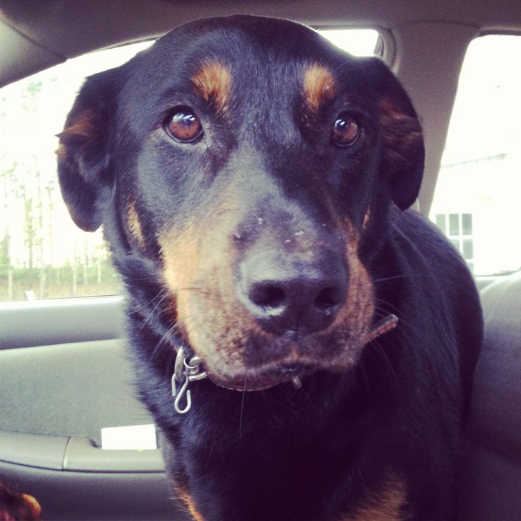 Rottweiler Lab mix. Reminds me of my odog, R.I.P. Rasco:(!