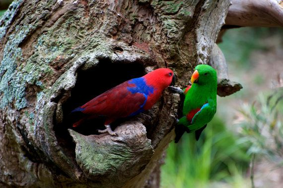 Pair Of Eclectus At The Nest by GPNaturePhotos on Etsy