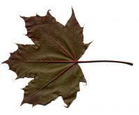 Acer platanoides 'Crimson King' (dos de la feuille)