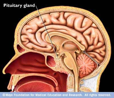 The Pituitary Gland - This is the center of the Endocrine System and secretes a large number of hormones. This gland is located in the midbrain, near the hypothalamus.