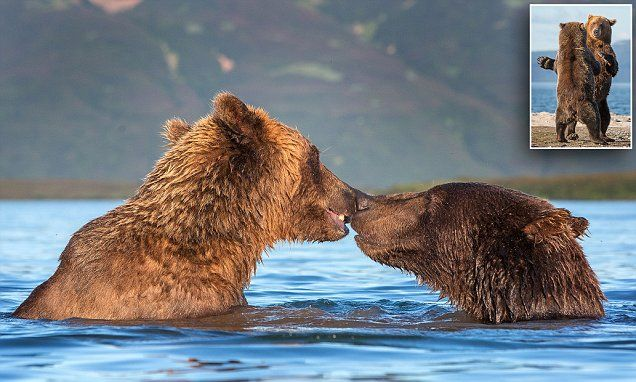 Wild for each other! Loved-up brown bears kiss