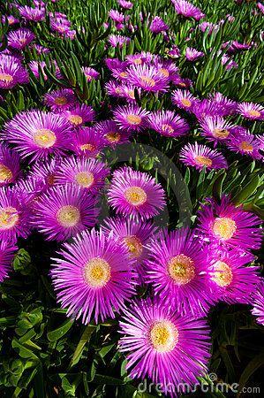 Carpobrotus Edulis - Ice Plant Royalty Free Stock Photo - Image: 24576095