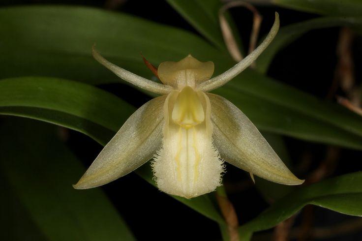 Coelogyne fimbriata forma alba - From Nepal and Southern China across Cambodia, Laos and Thailand and into Vietnam Borneo, Peninsular Malaysia and Sumatra