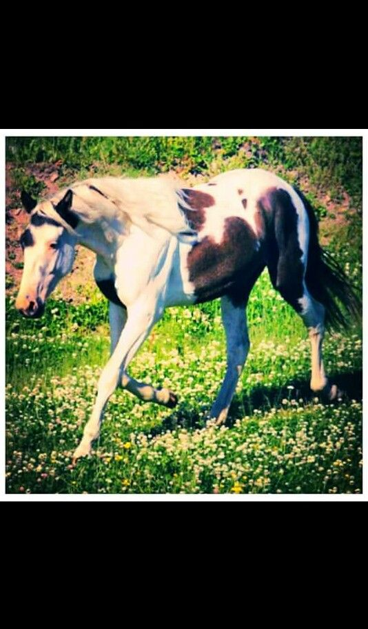 Beautiful paint Andalusian horse. Mare