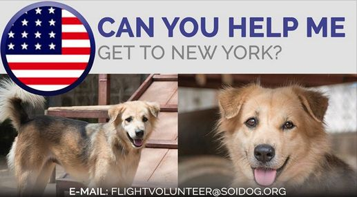 Flight volunteers wanted! ReeRee has been adopted and we now need to get her to her forever home in the New York area! If you are traveling FROM Thailand TO NEW YORK, on BOOKED tickets with Thai Airways, All Nippon Airways (ANA), China Airlines, Qatar, Korean Air, JAL, EVA, Lufthansa Air France or KLM, please EMAIL flightvolunteer@soidog.org for more information. https://www.soidog.org/content/become-flight-volunteer