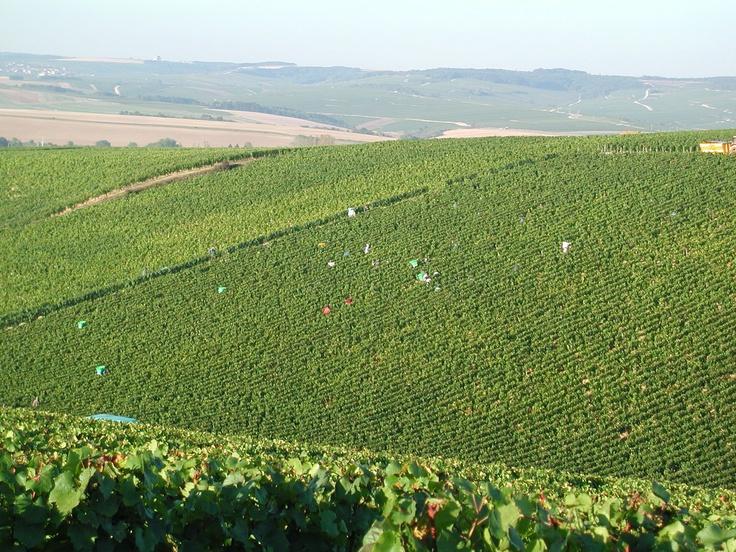 Domaine Drouhin Vaudon   Vendanges dans les #vignes de Chablis