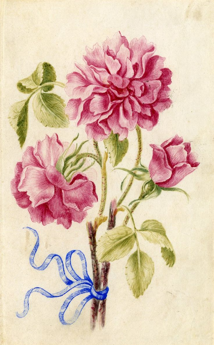 Drawing from an album, pink Roses tied with blue ribbon Watercolour over metalpoint, on vellum by Alexander Marshall. British, date 1639-1682.