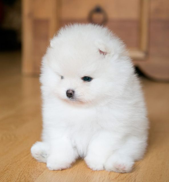 micro pomeranian for sale near me teacup pomeranian