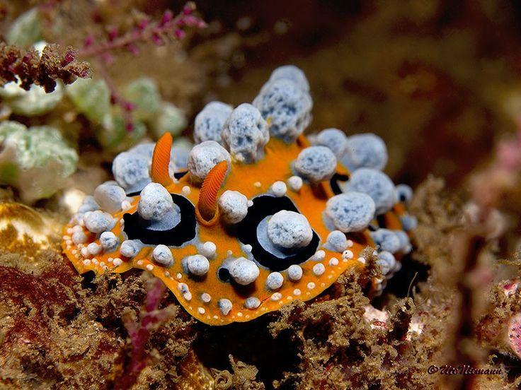 Schmetterlinge der Meere - so werden sie oft fast poetisch genannt.  Nacktschnecken / Nudibranchia - in vielfältigen Formen und Farben www.aqua-liber.de/aqua-lexikon/wirbellose/weichtiere/nacktschnecken