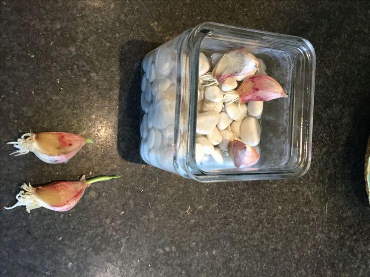 zelf knoflook kweken, tenen laten wortelen op water en met 1-2 cm groen uitplanten