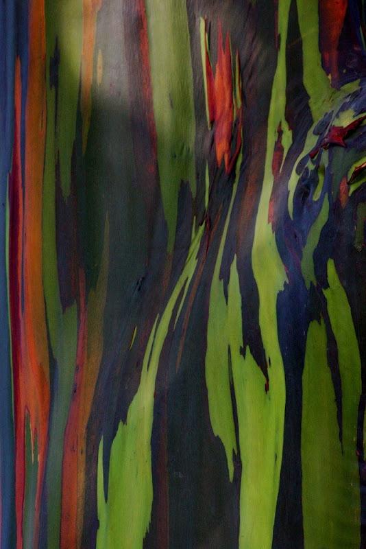 Colourful Bark on Tree, rainbow eucalyptus