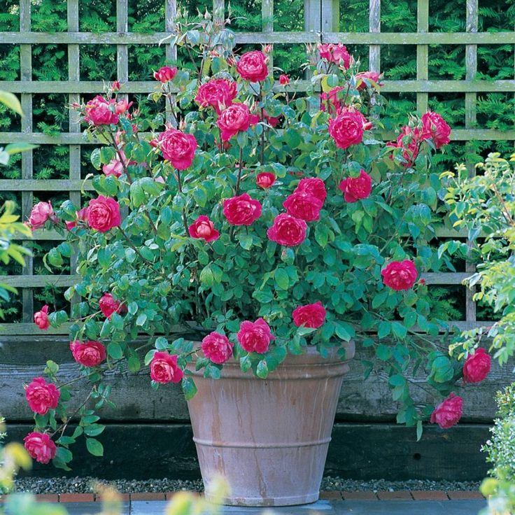 Benjamin Britten - English Rose Climbers - English roses - bred by David Austin
