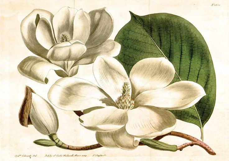 Vintage botanical magnolia poster print Reproduction Large 450mm x 320mm by Retroposterart on Etsy