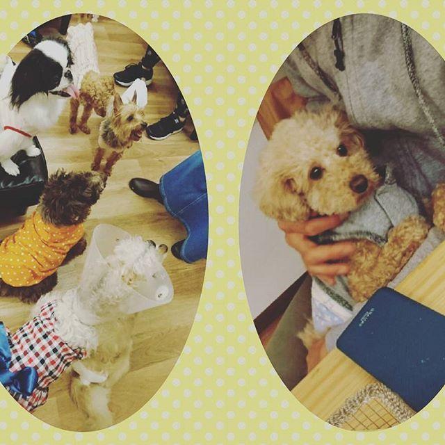 保護犬カフェ川西店へ行ってきました☺🎵 保護犬時代のこまさをご存知のオーナーさん、こまさがパピーの頃からお世話してくださっていた鶴橋カフェの元スタッフさんにお会いすることができ、こまさの保護犬時代のお話もたくさん聞かせて頂きました。  今こうして元気にしているこまさを見せることができて本当に良かったなぁと思いました(*^^*) またおじゃまさせていただきますね!  #こまさ #トイプードル #toypoodle #といぷーどる #保護犬 #保護犬カフェ #ラブファイブ #愛犬 #犬