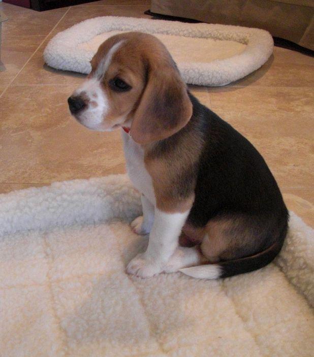Baby Beagle... Awww I miss my baby beagle so much!! #Beagle