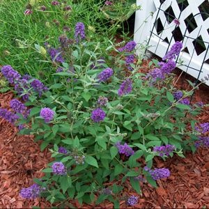 Cute and Compact describes Buddelia Blue Chip. For gardening in small spaces you do not need to limit your ideas, you just need to shrink them. With a huge new selection of compact shrubs, Butterfly Bush Blue Chip is a Garden Crossings favorite.   http://www.gardencrossings.com/Compact-Flowering-Shrubs