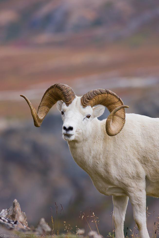 El carnero o muflón de Dall (Ovis dalli) es una especie de mamífero artiodáctilo de la familia Bovidae. Es un carnero salvaje propio de Norteamérica; en especial habita los hábitats de las Montañas Rocosas entre la Columbia Británica y Alaska. Posee un característico pelaje blanco.