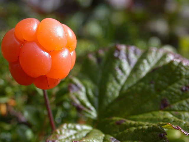 Cloudberry. Supposed to be so melt in your mouth blissfull with that special Norse Whipping cream -- that people will go to collect their berries from the same Secret Place and take it to the Grave, where the good picking is. ( Like a fisherman with a good fishing spot !! )