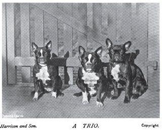 1899 'French Toy Bulldog' photo 1899_FrenchBullogs.jpg