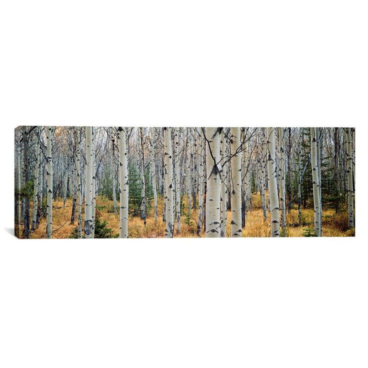 You'll love the Aspen Trees in a Forest, Alberta, Canada Canvas Print at Joss & Main - With Great Deals on all products and Free Shipping on most stuff, even the big stuff.