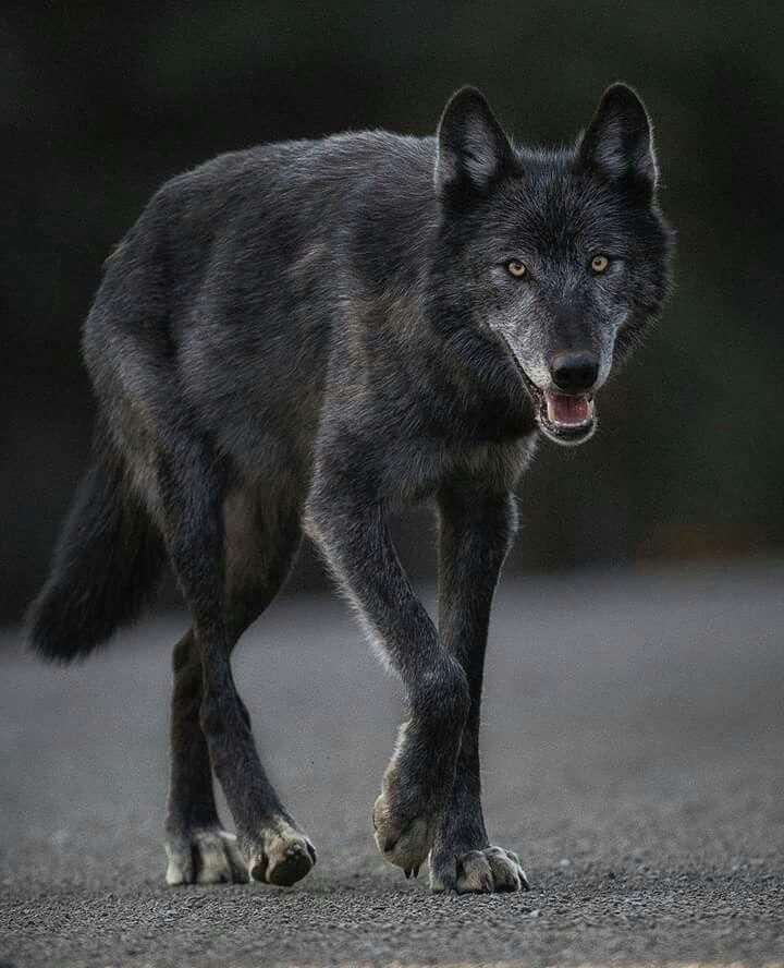 16++ Black coyotes ideas