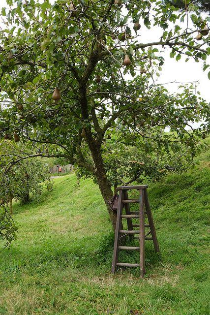 pear picking time
