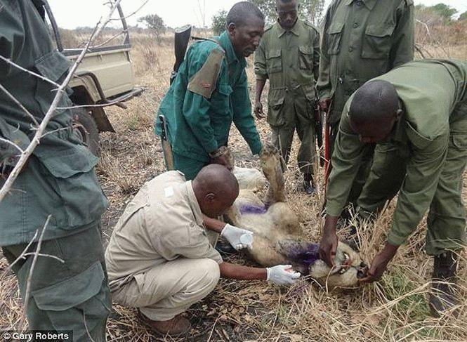Прайд львов три года выхаживали своего соплеменника, попавшего в капкан