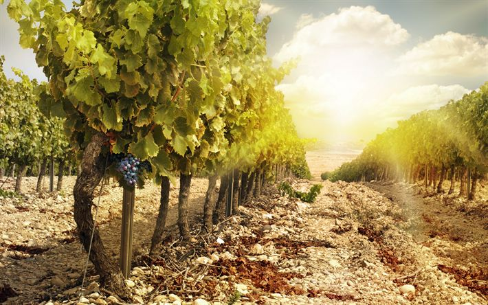 Download wallpapers vineyard, autumn, sunset, grapes, harvest