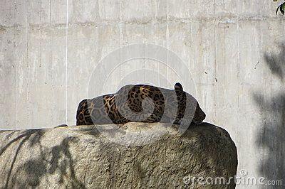 American Jaguar or Panthera Onca, resting in a stone. Miranda& x27;s Park @ Caracas,Venezuela