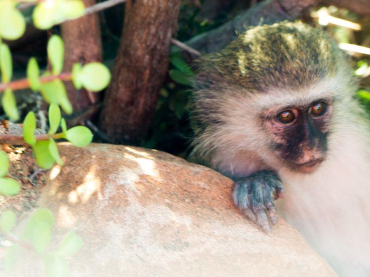 Baby Vervet monkey, Valley of Desolation, Graaff-Reinet
