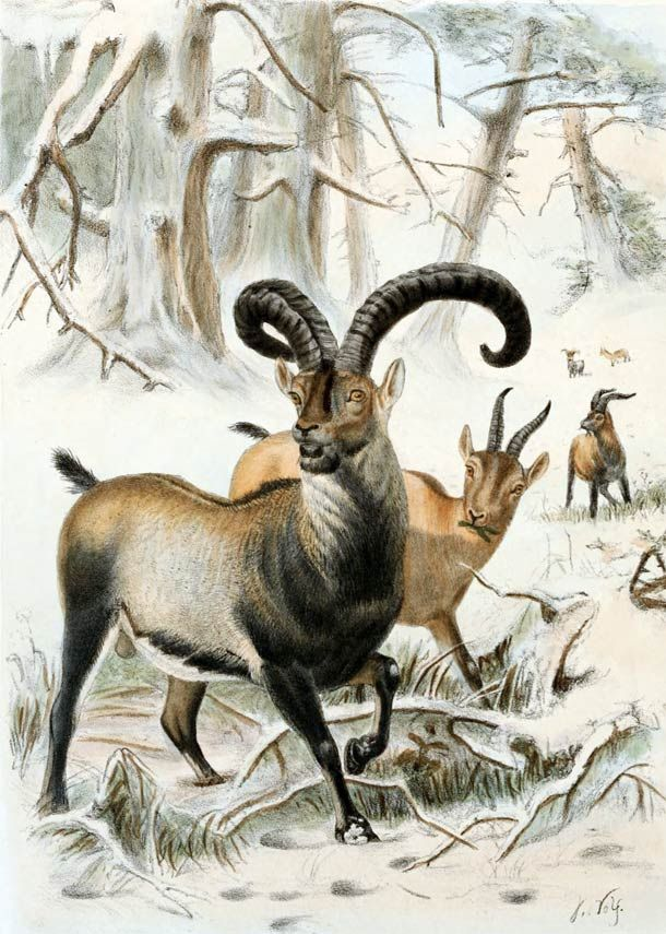 Pyrenean Ibex: The Pyrenean ibex used to inhabit Southern France and the northern part of Pyrenees. More commonly known as bucardo in Spain, this animal was common during the Pleistocene period but became extinct in January 2000.