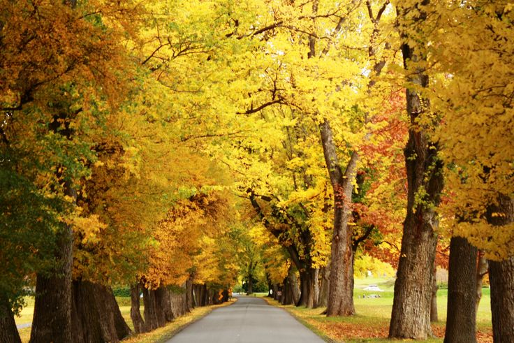Our 150 years old Avenue of trees tuned into beautiful golden colours over the weekend..  #millbrookresort #autumncolours