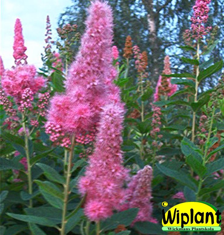 Spiraea billardii, Klasespirea. Starkväxande, rosa blomklasar. Höjd: 1,5 m.