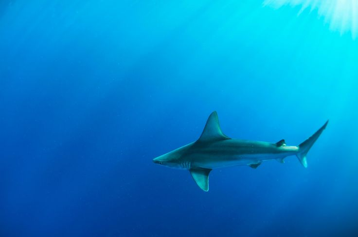 Sandbar Shark - beautiful sandbar shark swimming off the coast of Oahu, Hawaii