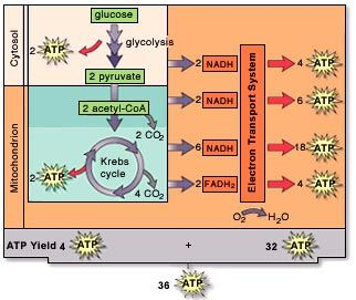 27 best photosynthesis and cellular respiration images on pinterest cellular respiration atp count google search fandeluxe Choice Image