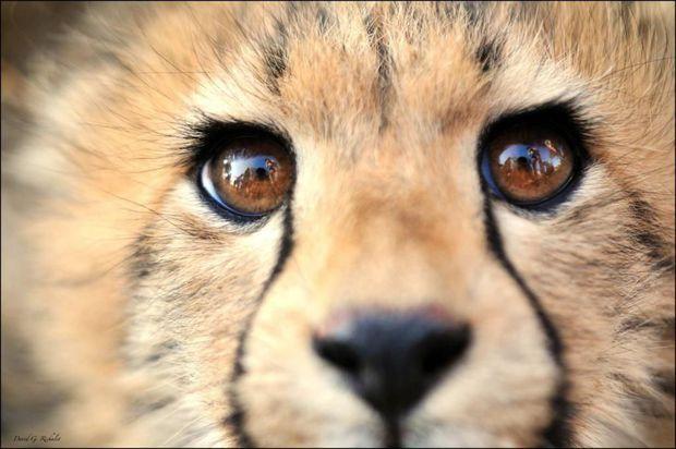 Guépard du parc Kruger, en Afrique du Sud / par David J. Richalet - Communauté GEO