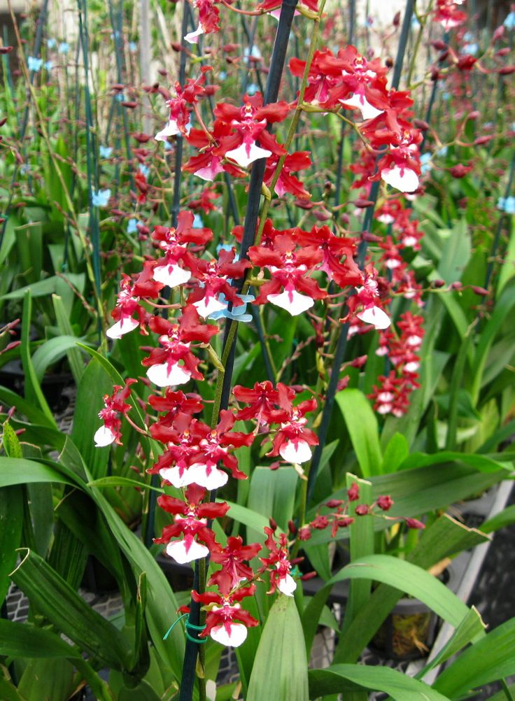 Best Chocolate Scented Flowers: 37 Best Images About Christmas Orchid Flowers On Pinterest