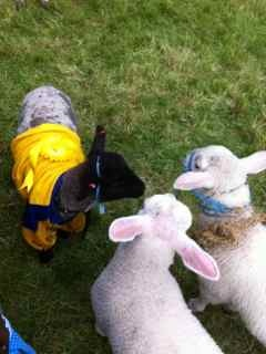 The Roscommon Lamb Festival - Spot the winner of Roscommon pet lamb competition #roscommon