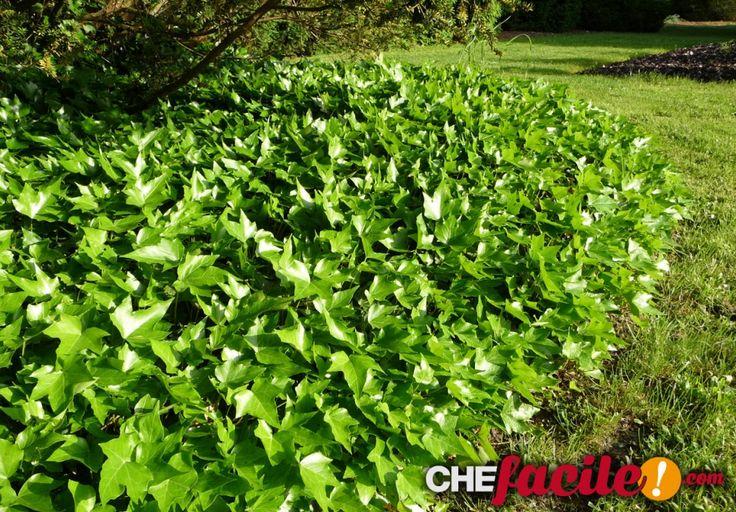 """Le piante tappezzanti: alternative al prato verde """"Le piante tappezzanti perenni, sempreverdi o caducifoglie sono una valida alternativa al prato verde"""""""