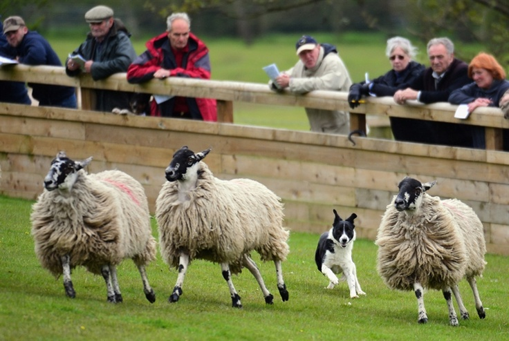 PhotoBlog - Top border collies for sale at annual auction