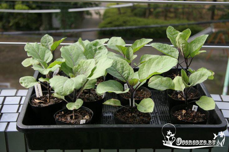 Когда сажать баклажаны на рассаду, а  также как правильно вырастить хорошую и крепкую рассаду баклажан дома читайте здесь...