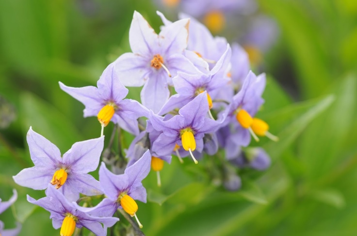 Glasnevin Chilean Potato Bush, love the bright foliage and these great purple flowers with the gold centers. Great espaliered on a wall or trellis!