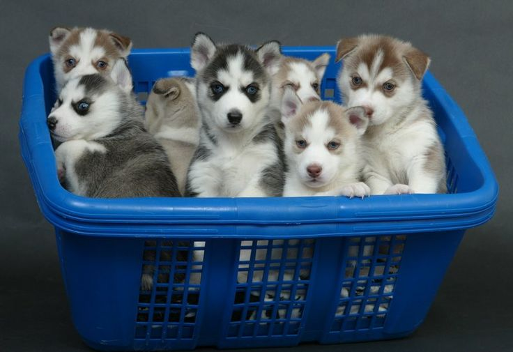 I would take every single one!: Crochet Shoes, Baby Sandals, Siberian Husky Puppies, Baby Shower Games, Blue Eye, Cutest Puppies, Laundry Baskets, Huskies Puppies, Animal