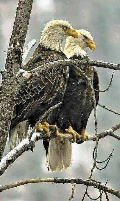 Bald Eagle Couple.