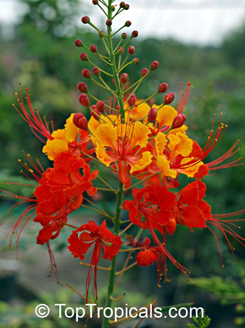 Caesalpinia pulcherrima, Peacock flower, Barbados pride, dwarf poinciana, Barbados flower-fence, Gold Mohur. Sometimes also called Mexican Bird of Paradise.