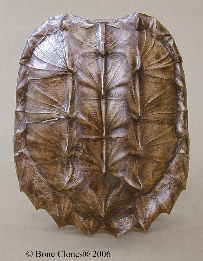 Alligator Snapping Turtle Shell KO-038